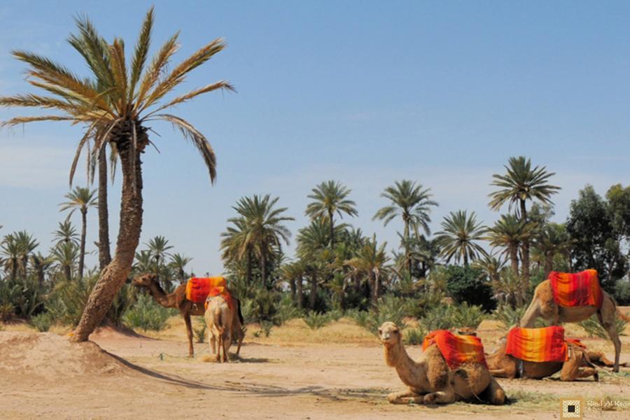 Activités Marrakech Chameau dromadaire palmeraie | Riad Al Ksar