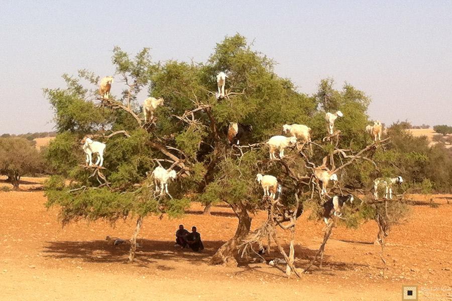 Essaouira Maroc Chevres dans les arbres | Riad Al Ksar