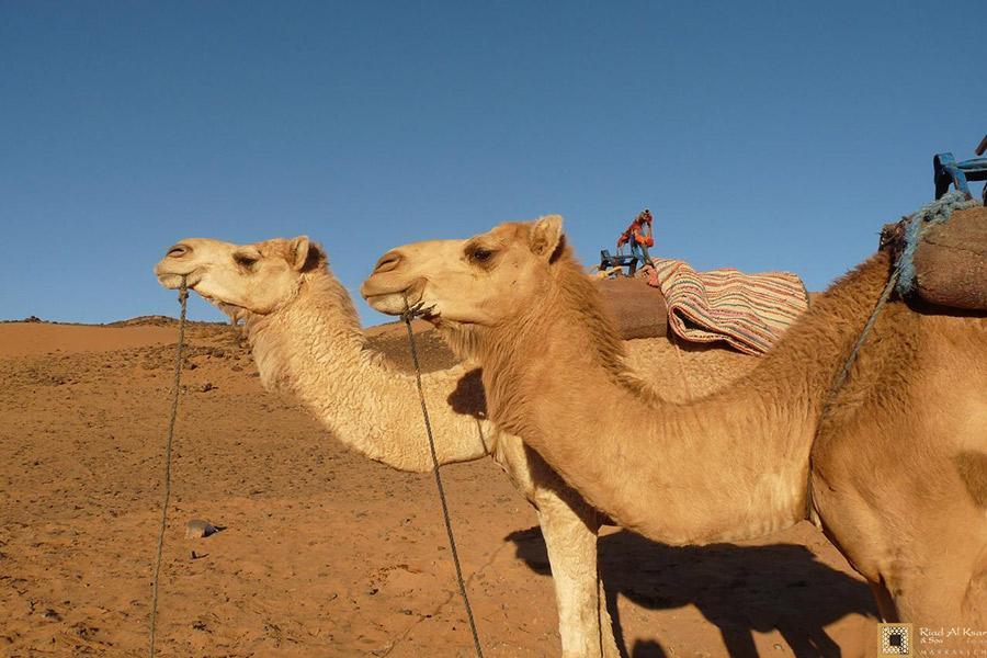 Dromadaires Désert Sahara Marocain Dunes Merzouga | Riad Al Ksar