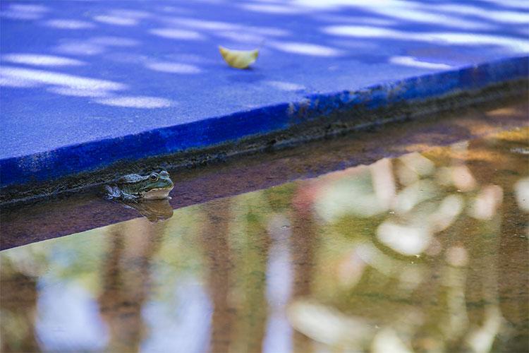grenouille du jardin majorelle marrakech